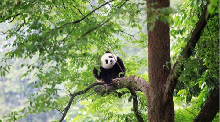 大熊猫在雨城惬意生活