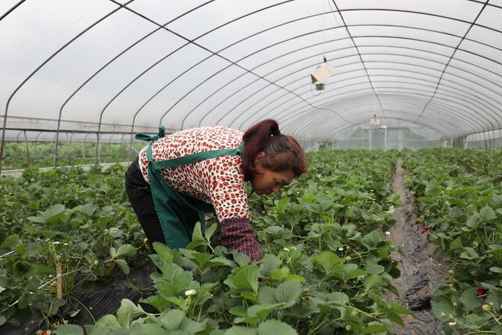 工作人员管护草莓基地
